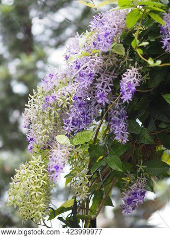 Flower Purple Sandpaper Vine Purple Wreath Bouquet Of Five Petals Like Five Pointed Hairy Base Of Th