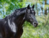 Portrait of black stallion of Russian riding breed poster