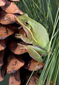 A baby green tree frog is sitting on a pine cone. poster