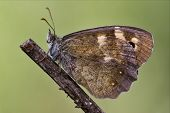 side of wild brown grey orange butterfly on a brown branch in the bush poster
