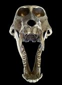Scary face view of a screaming baboon skull with its jaws distended. Extract on black background. Clipping path included. poster