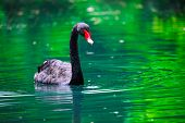 Black swan with a red beak In The green Pond poster