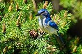 Bright Blue Scrub Jay on a tree branch poster
