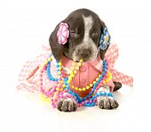 female puppy - german short haired pointer puppy dressed up in girls clothing isolated on white background - 5 weeks old poster
