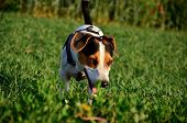 Photo of smiling Jack Russel Terrier in green grass. poster