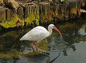White ibis commonly seen in the Florida Everglades poster