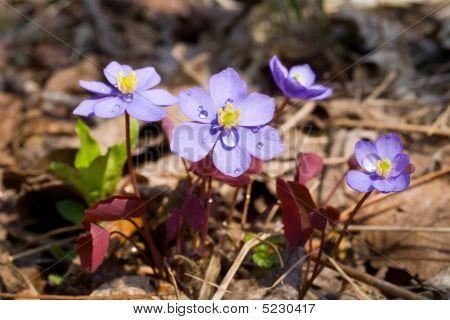 Flowers (jeffersonia Dubia)
