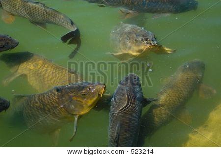 Carp Feeding
