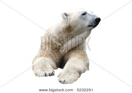 Polar Bear Isolated