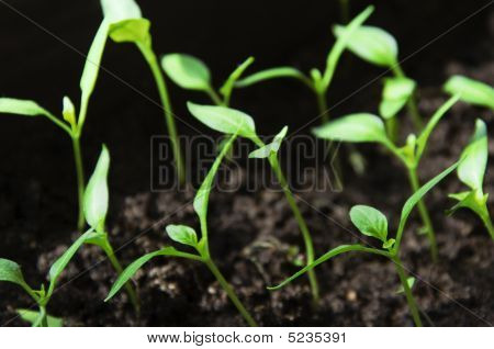 Seedlings Sprouts