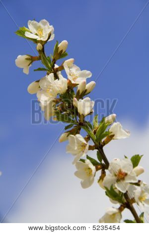 Branch Of Cherry Tree Covered With Flowers