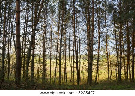 Pine Trunks On Bright Background