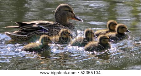 mallard ducklings swimming in sunshine with mother poster