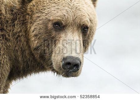 Coastal Brown Bear Closeup