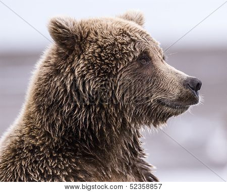Close-up profile of a coastal brown bear at Lake Clark NP Alaska poster