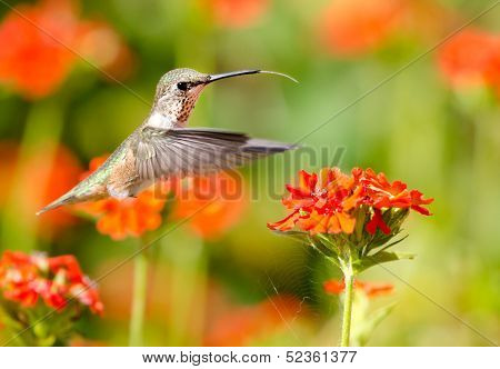 Rufous Hummingbird feeding on Maltese Cross flowers. poster