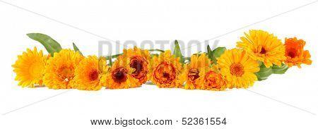 Calendula flowers isolated on white