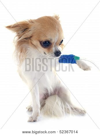 Chihuahua And Drip