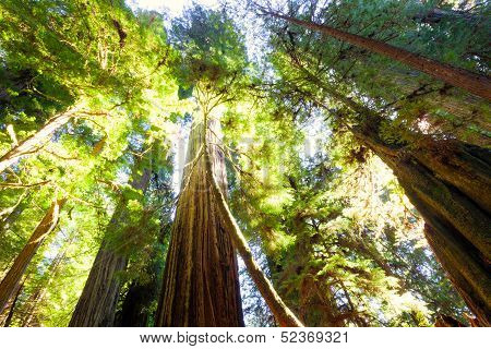 Tall Old Growth Redwood Trees In Sunlight