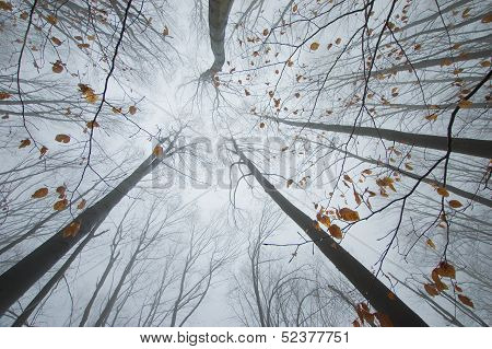 Trees reaching up in a forest in autumn with colorful leaves and fog