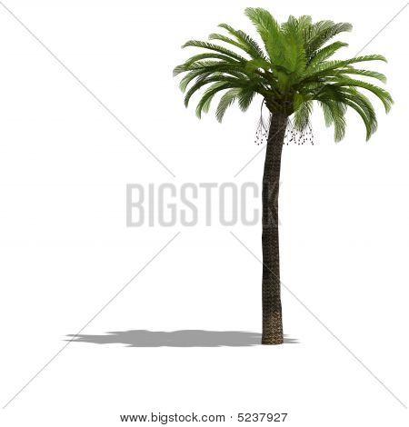 Palme Tree