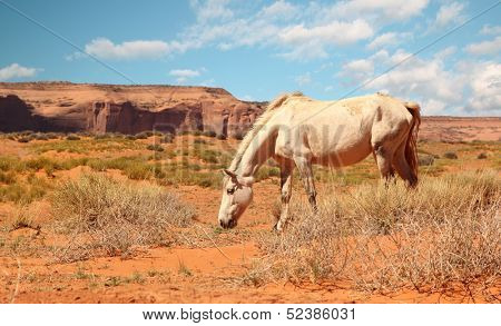 wild white horse eating grass at Monument Valley, Arizona