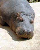 hippopotamus sleeping in zoo outdoor in sunlight poster