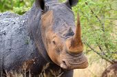 White Rhinoceros, Kruger National Park, South Africa poster