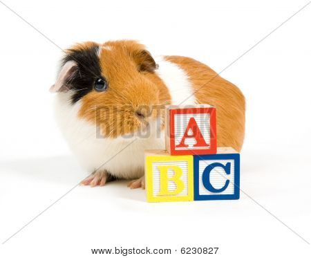 Curious Guinea Pig Is Learning The Abc
