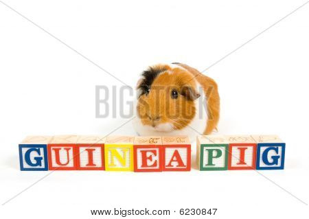 Guinea Pig With The Words On Blocks Isolated On A White Background