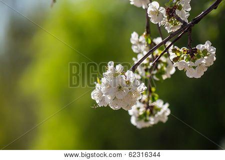Flowers Of Apple Tree On A Green Bush