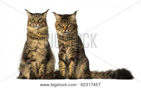 Two Maine Coons sitting and one of them is sulking poster