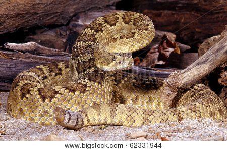 Mojave Rattlesnake.