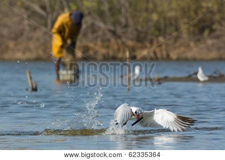 Caspian Tern Resurfacing With A Stick