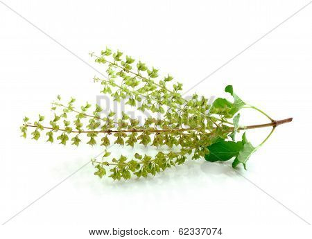 Basil flower  isolated  on  a white background poster