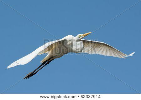 A Great White Egret (Egretta alba) in flight poster