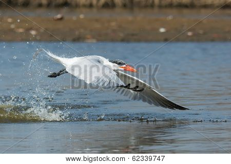 Side View Of A Caspian Tern Taking To The Air After A Dive