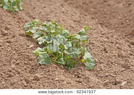 Melon Plant
