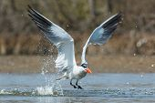 A Caspian Tern (Hydroprogne caspia) taking to the air after a dive poster