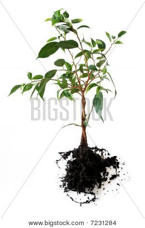 Plant with root