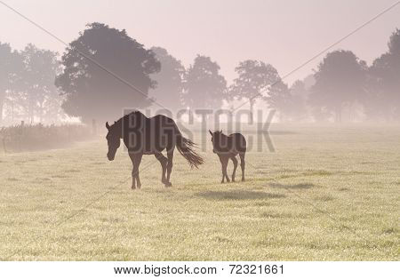 horse and foal on pasture in dense sunrise fog poster