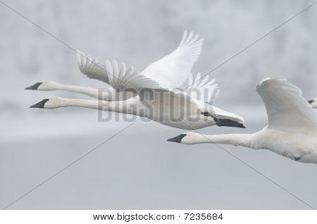 Flock Of Trumpeter Swans (Cygnus buccinator) Fly Past
