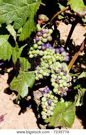 grapevines in vineyard Cote Maconnais region Burgundy France