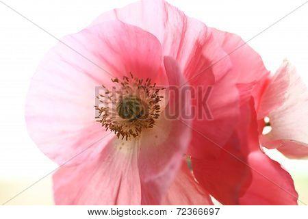 Shirley poppies closeup
