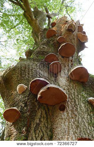 Bracket Fungi On A Tree