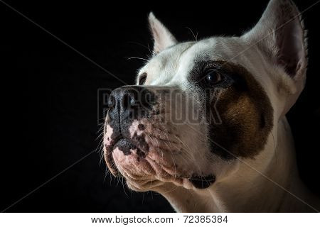 Argentinian dog on black background