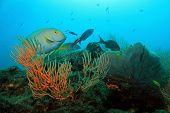 Yellowfin Surgeonfish (aka Cuvier's Surgeonfish Ring-tailed Surgeonfish Yellow-mask Surgeon Purple Surgeonfish - Acanthurus Xanthopterus) On a Coral Reef Caño Island Costa Rica poster