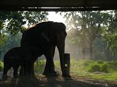 Asian elephant and baby in captivity in the elephant breedery in Chitwan National Park south Nepal. poster