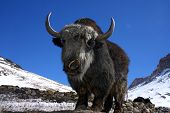 big wild yak high in the indian mountains poster