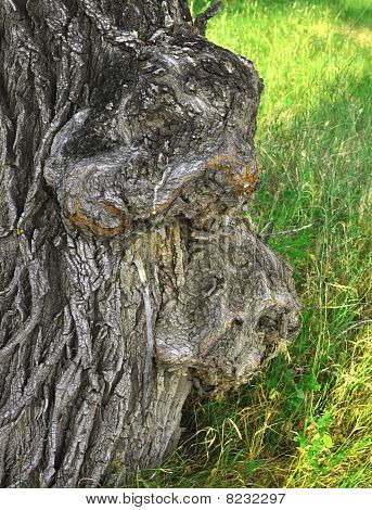 Outgrowth On Tree Bark